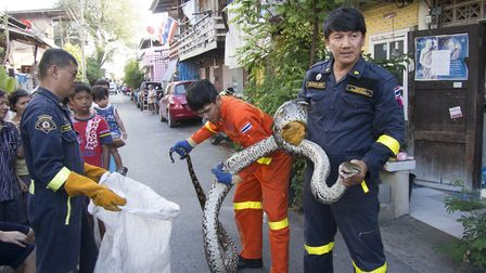 Cities: Nature's New Wild - Firefighters in Bangkok, Thailand rescue a reticulated python from a res