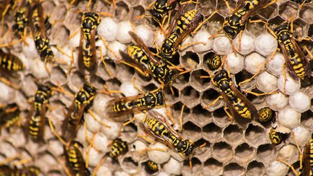 Wasp nest. Picture: Getty Images/iStockphoto