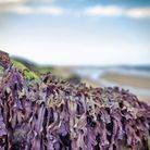 Seaweed farming could be established off the coast of Wells. Picture: Colin Inglis