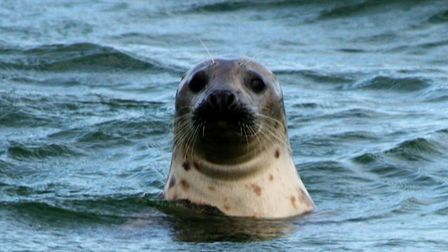A seal popping up its head at Blakeney Point Picture: PAUL GEATER