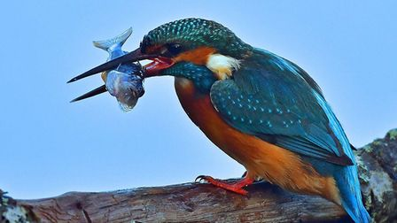 A stunning shot of a kingfisher with its catch at Lackford Lakes. Picture: RON SMITH