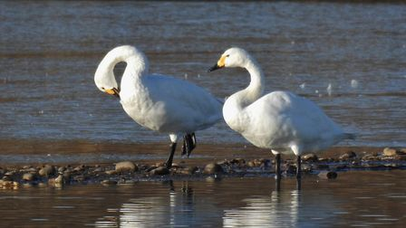Bewick swans at RSPB Minsmere Picture: CHARLES CUTHBERT