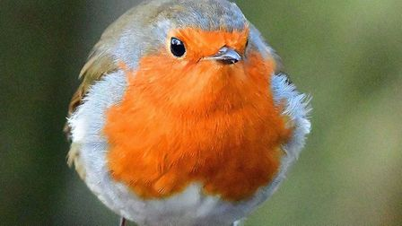 A robin puffing itself out at Lackford Lakes. Picture: RON SMITH