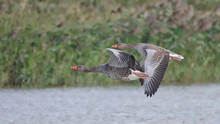 Two Greylag Geese, staying in close flight formation. This picture was taken at NWT Cley Marshes. Pi