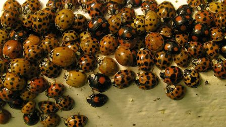 John Innes Centre scientists are seeking the public's help to find harlequin ladybirds. Picture: Nic