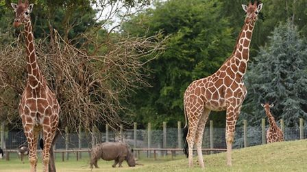 Giraffes explore the newly extended plains of Africa enclosure at Africa Alive. Picture: Nick Butche
