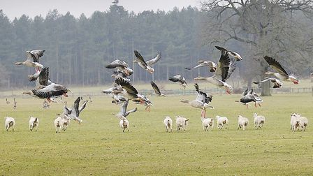 Great Bircham Foods are expanding into wholesale/online retail. Pictured: pink footed geese and shee