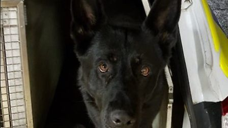 Police dog Nero helped police track a suspect who failed to stop on drug charges. Photo: NS Police D