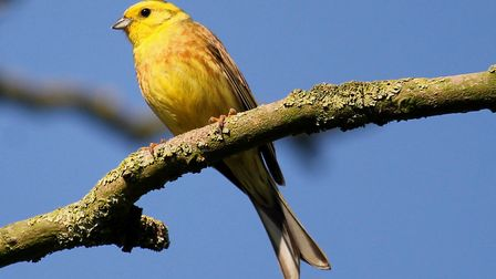 Yellowhammers were one of five Red List species which made the list of 25 most commonly seen birds i