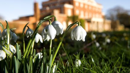 The snowdrops cover the grounds of Raveningham Hall ready for opening of the gardens. Picture: Nick