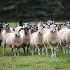 The theft of around 100 sheep from East Tuddenham was one of the rural crimes discussed by farmers a