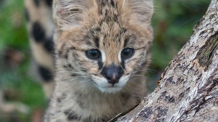 An inquistive peek for a serval kitten at Africa Alive. Picture Africa Alive