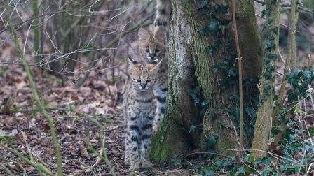 Almost perfectly camouflaged, the serval kittens and mum Milia at Africa Alive are drawing plenty of