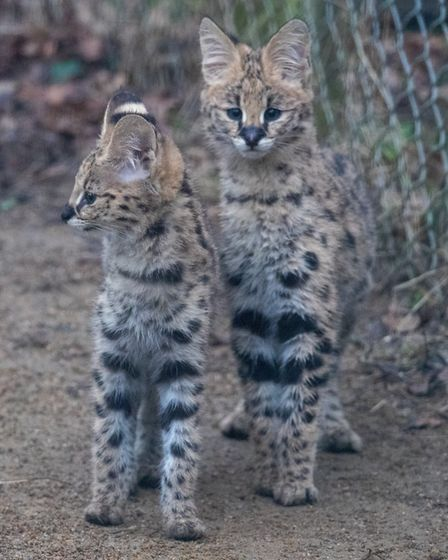 Welcome to the new Serval kittens, born at Africa Alive. Picture Africa Alive