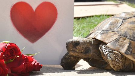 Timmy Tortoise is looking for love.Byline: Sonya DuncanCopyright: Archant 2018