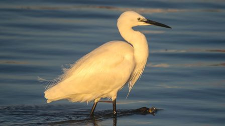 Little egret are regular visitors to the stretch of the River Wensum that flows through the golf cou