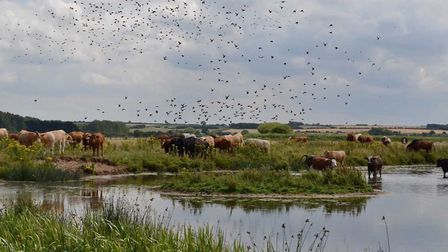 Cattle on the meadow surrounded by starlings at NWT Holme Dunes. Photo: Elizabeth Dack