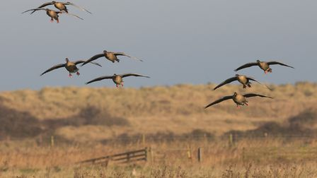 Pink footed geese at NWT Holme Dunes. Photo: Greg Beeton