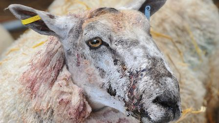 A sheep recovering after being attacked by a dog in Attleborough. Photo: Bill Smith