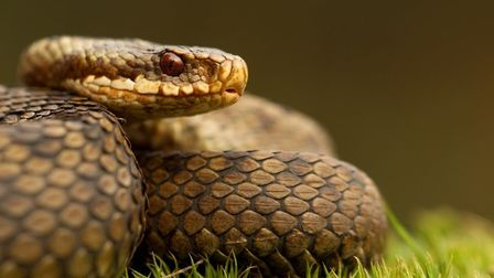 The adder is one of the three species in the Norfolk Wildlife Trust's spring reptile survey. Picture