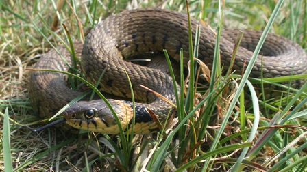 The grass snake is one of the three species in the Norfolk Wildlife Trust's spring reptile survey. P