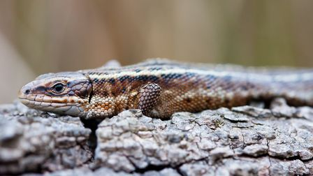 The common lizard is one of the three species in the Norfolk Wildlife Trust's spring reptile survey.