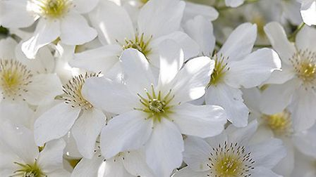 Clematis Avalanche Picture: Enjoy Gardening More