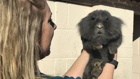Alsion Howman-Payne finding a home for this grey lion head rabbit which was found roaming around a n