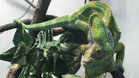 Pascal the chameleon is one of a number of reptiles being cared for at the PACT animal sanctuary at