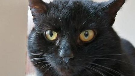 Braveheart the cat needs a home. Photo: RSPCA East Norfolk