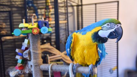 One of the parrots owned by Sue and Clair Baggott. Byline: Sonya DuncanCopyright: Archant 2019