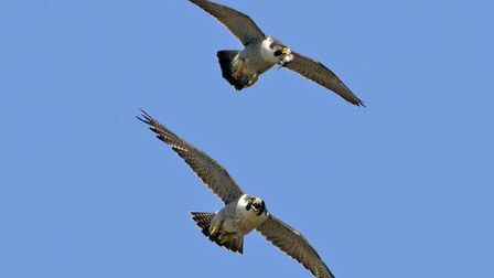 This pair of peregrine falcons nest on the spire of Norwich Cathedral. Picture: Andy Thompson