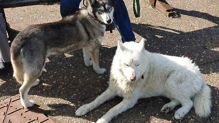 These Husky dogs were rescued by HM Coastguard Rescue Officers from Lowestoft near Baker Score in Co