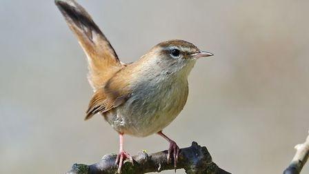 John Goldsmith identified the first distance recovery of a Cetti's warbler Photo: Steve Plume