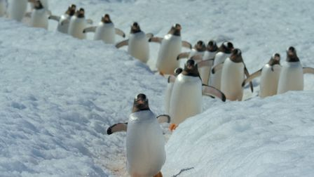 Gentoo penguins may be the fastest penguins underwater, but when they come ashore to breed in Spring