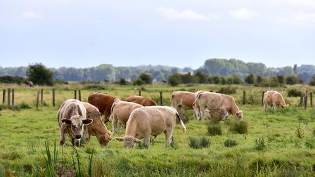 Cattle grazing on Haddiscoe Marshes. Picture: Nick Butcher