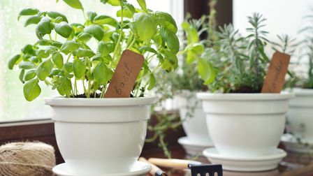 Can you grow herbs on a windowsill all year? Picture: Getty Images/iStockphoto