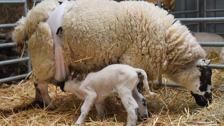 The Beulah ewe wearing a bra to hold up her dropped udder, so her two three-day-old lambs can feed.