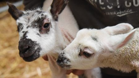 The two three-day-old lambs who are able to feed from their mother after she was fitted with a bra.