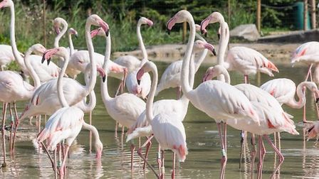 The flamingoes at Pensthorpe. Pic: Archant.