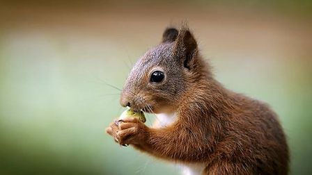 A red squirrel at Pensthorpe Natural Park. Pic: Archant.