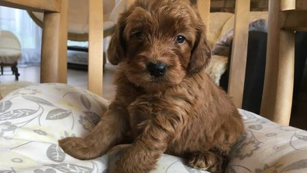 A puppy bred at Blackberry Pups in Hilgay. Picture: Dawn Holland