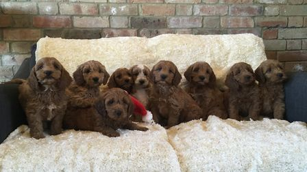 A litter of puppies bred at Blackberry Pups in Hilgay. Picture: Dawn Holland