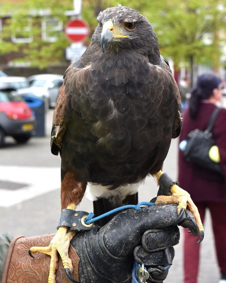 The hawk, which has been flying over Lowestoft town centre to warn off seagulls. Pictures: Mick Howe