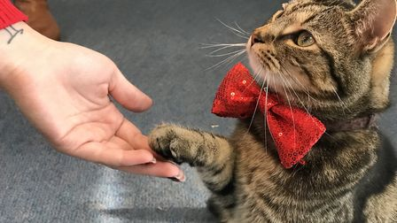Pleased to meet you. Teddy greeted old friends and new at Darlings Darlings cat cafe's Christmas par