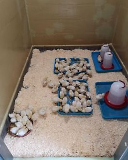 The RSPCA has launched an appeal after more than 100 chicks were dumped in the Fens. Picture RSPCA.