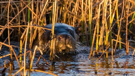 An otter spotted at Carlton Marshes near Lowestoft Picture: CHRISTOPHER CROSS