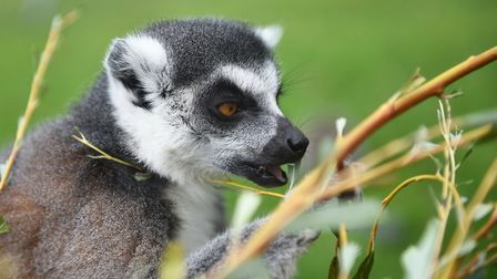 Lemers will be amongst the species that the Earl of Wssex sees on his visit to Banham Zoo Picture: A