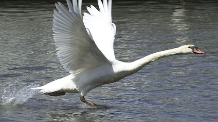 (1of2) Scenic/Calender Pic - Birdlife at Beccles Quay - A swan taking off on the River Waveney, in B