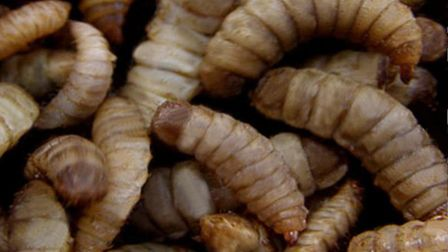Larvae of the black soldier fly. Picture: MD-Terraristik/Wikimedia